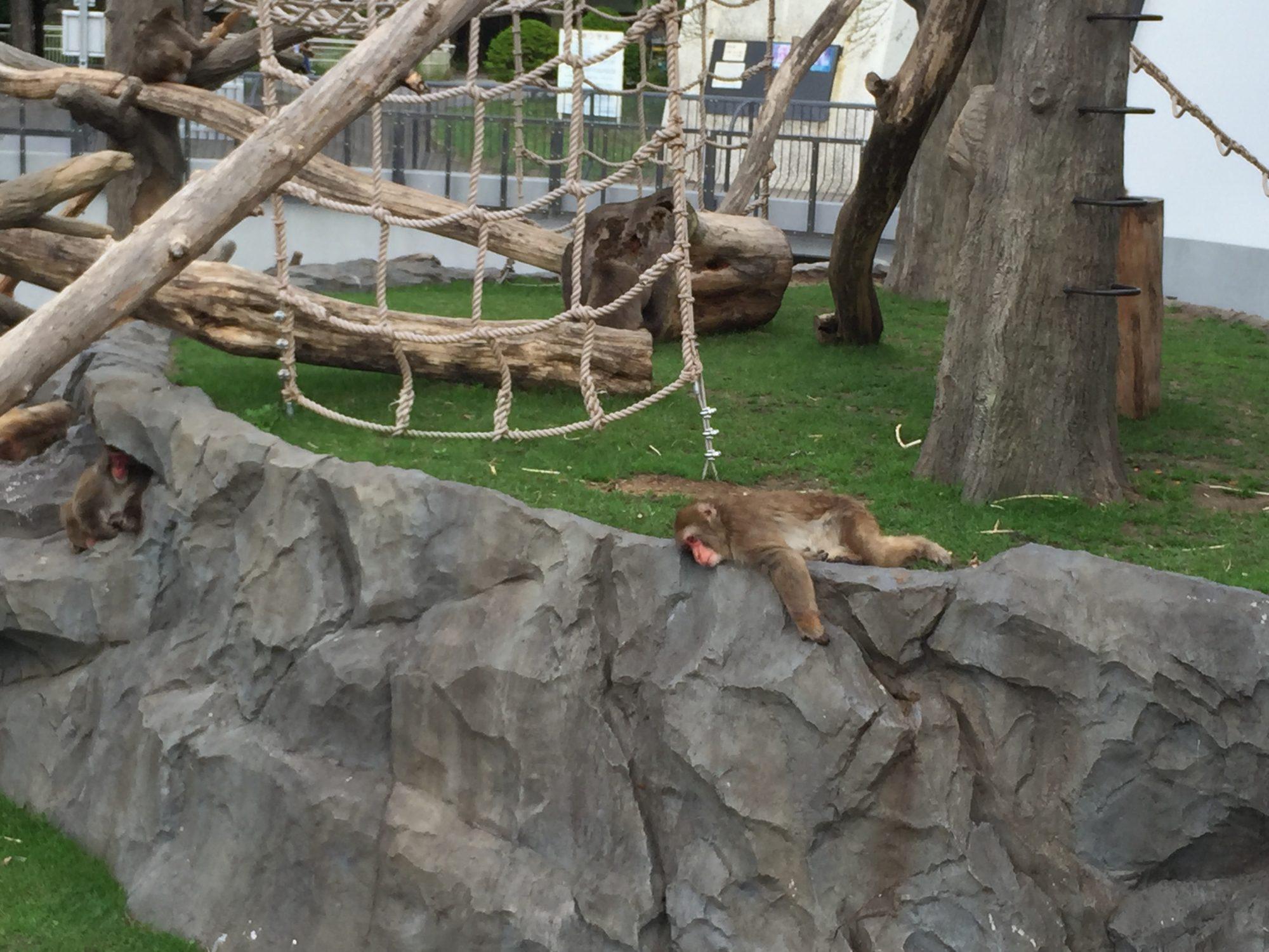 円山公園の猿